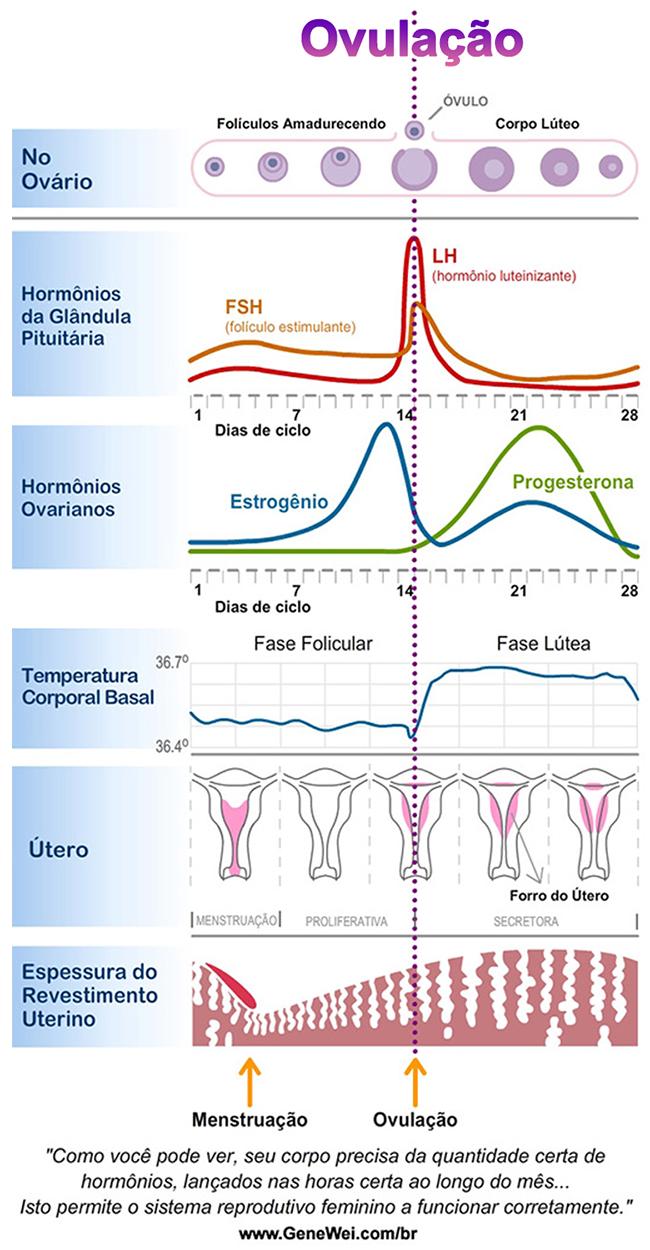 Um gráfico mostrando as mudanças nos hormônios femininos durante diferentes fases do ciclo menstrual.
