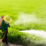 Farmers spraying pesticides in rice fields